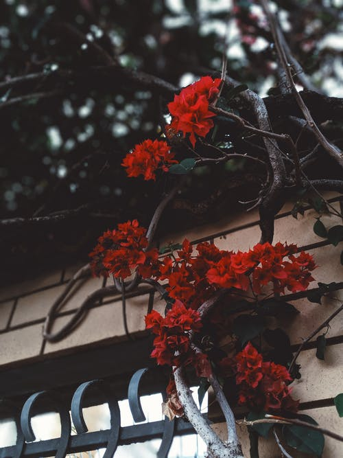Red Flowers On A Climbing Plant