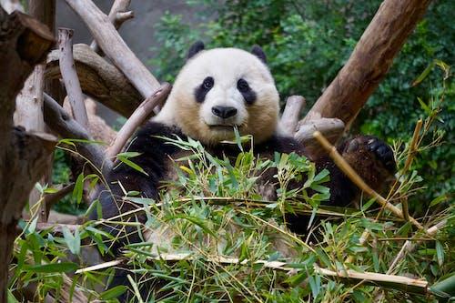 Fotobanka sbezplatnými fotkami na tému panda