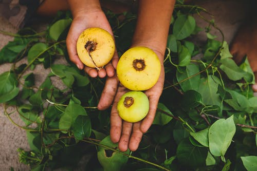 Person Holding Round Fruits