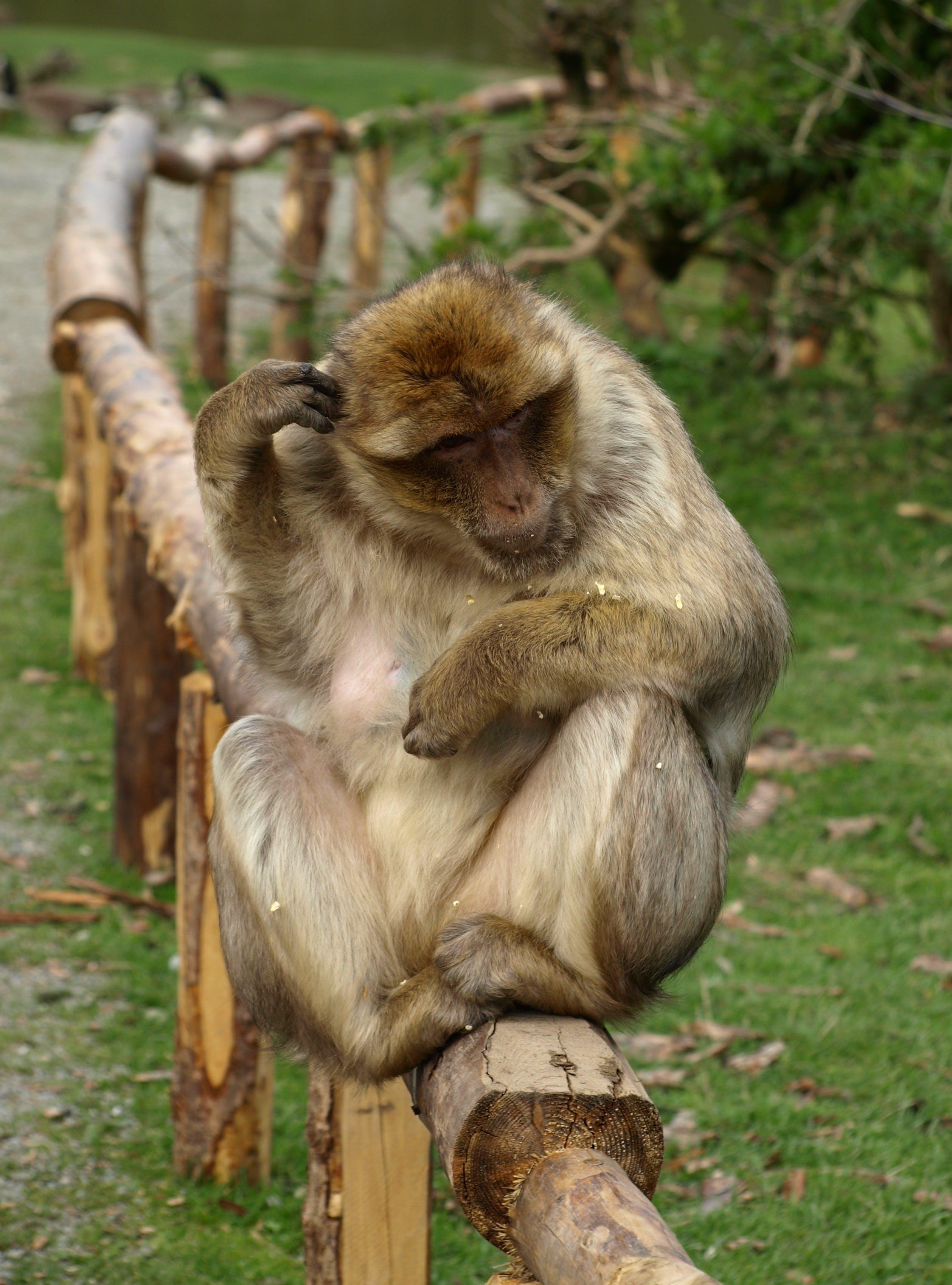Free stock photo of monkey, thinking, sit, barbary ape