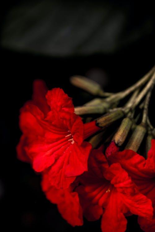 Photos gratuites de fleur rouge, floraison rouge