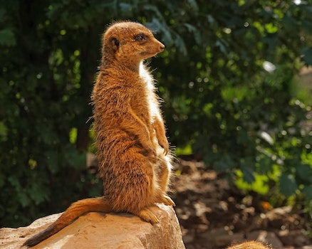 Free stock photo of watch, attention, meerkat, guards