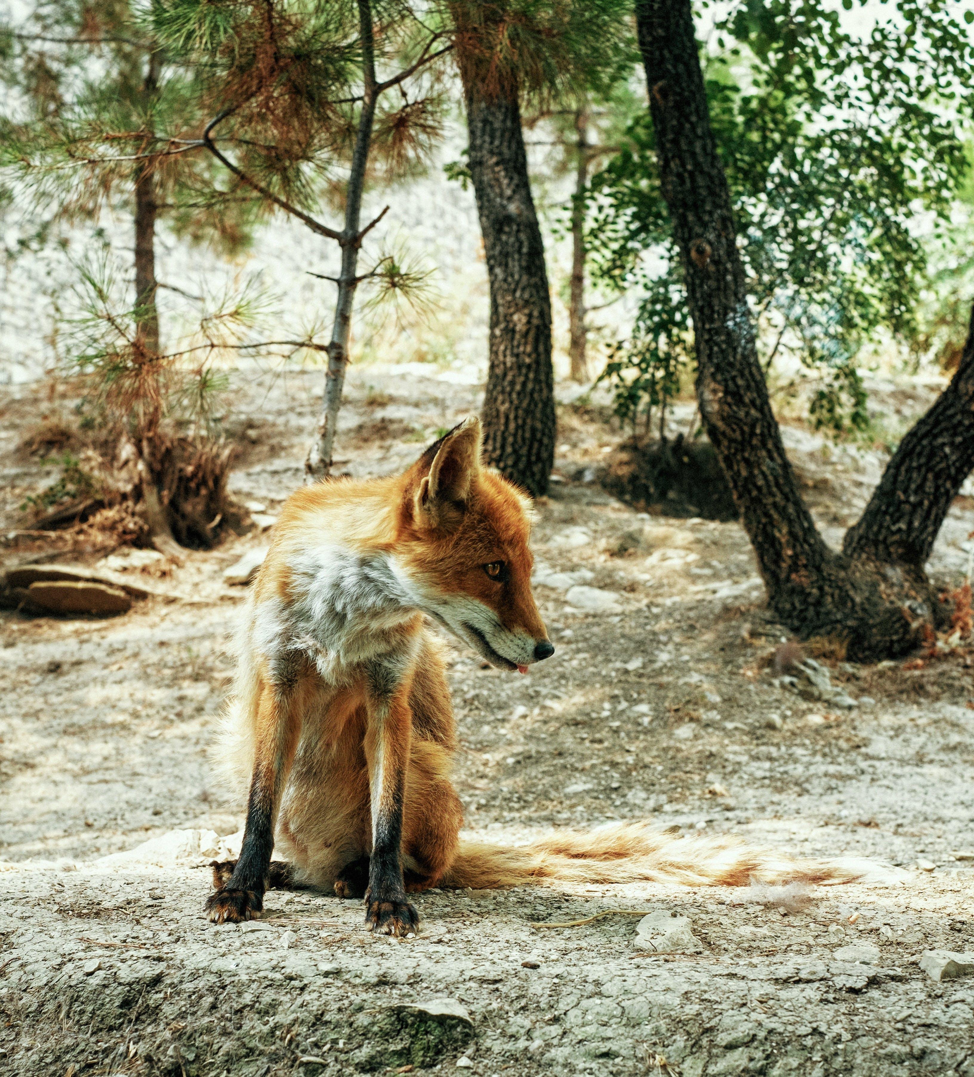 Free stock photo of animal, beautiful, forest, fox