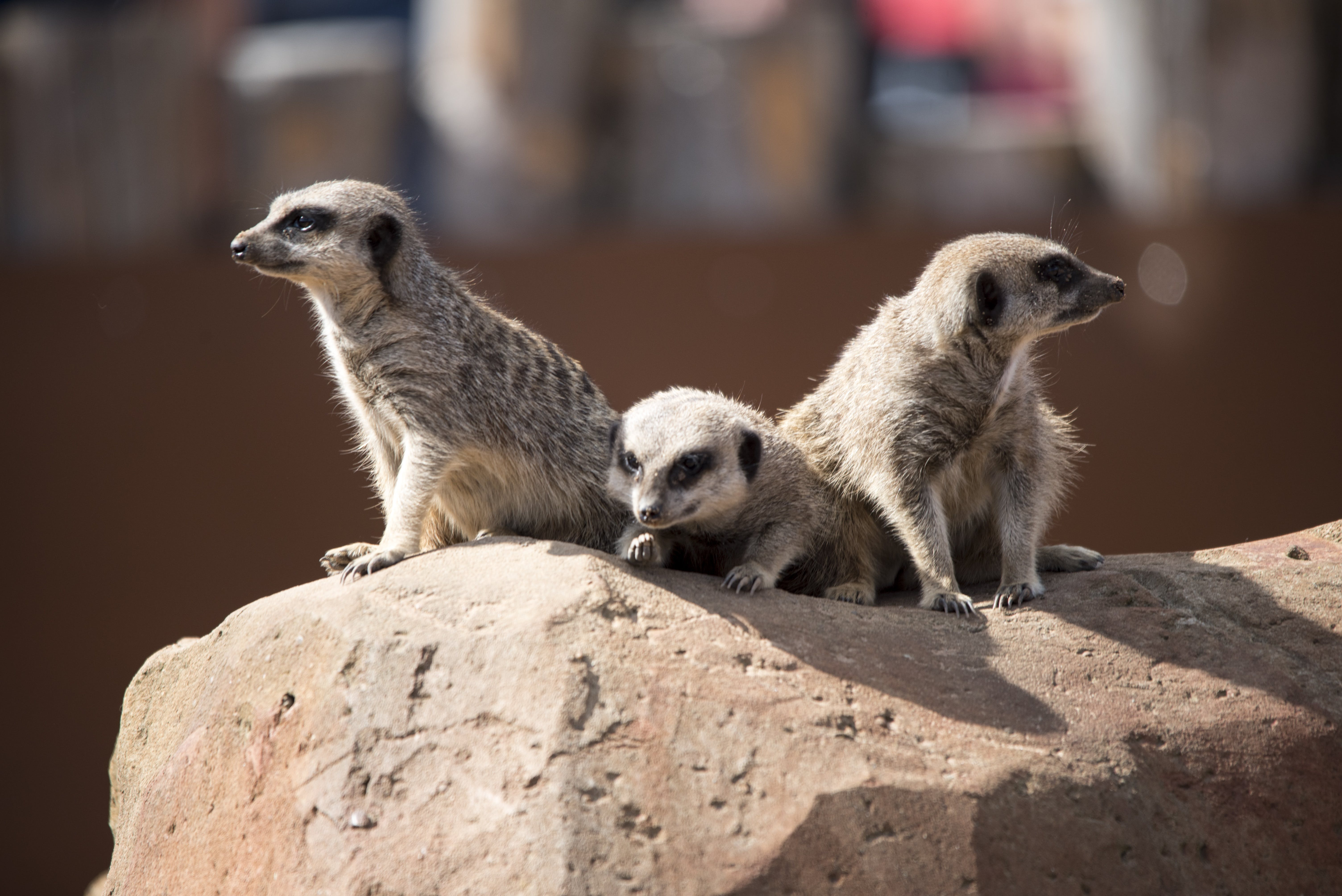 Free stock photo of cute, brown, zoo, watch