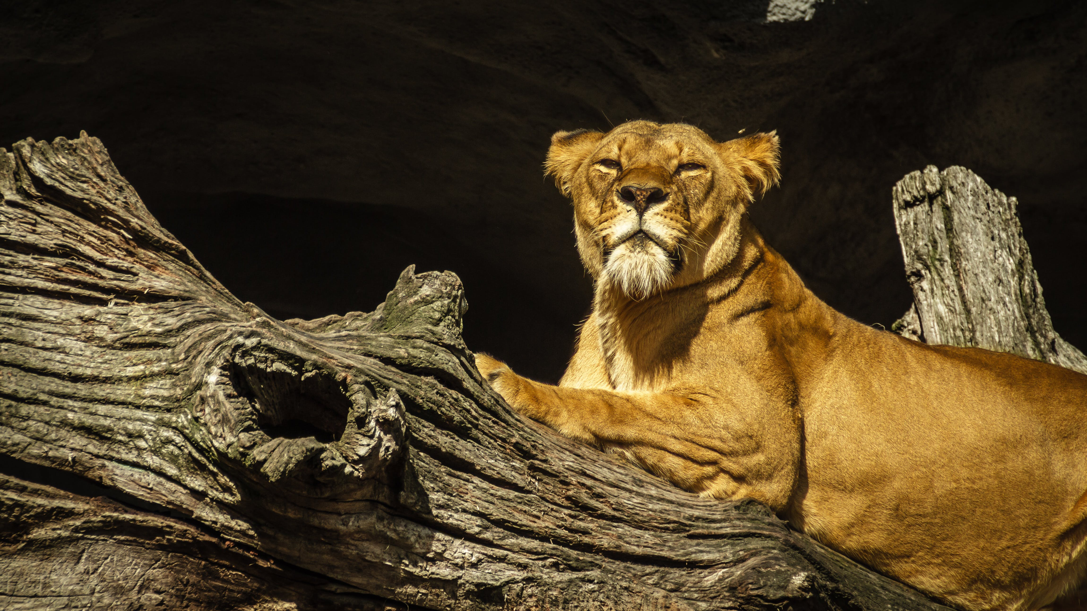 Lioness on Driftwood