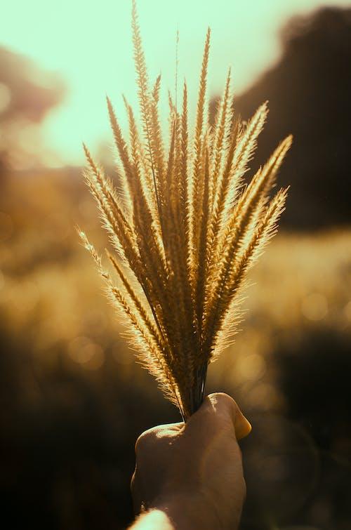 Fotos de stock gratuitas de al aire libre, amanecer, césped, cosecha