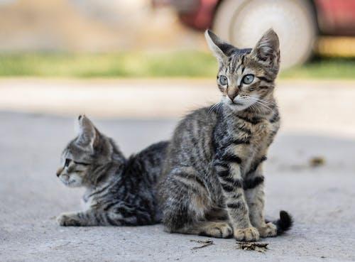 可愛, 埃及貓, 壯觀, 灰 的 免費圖庫相片