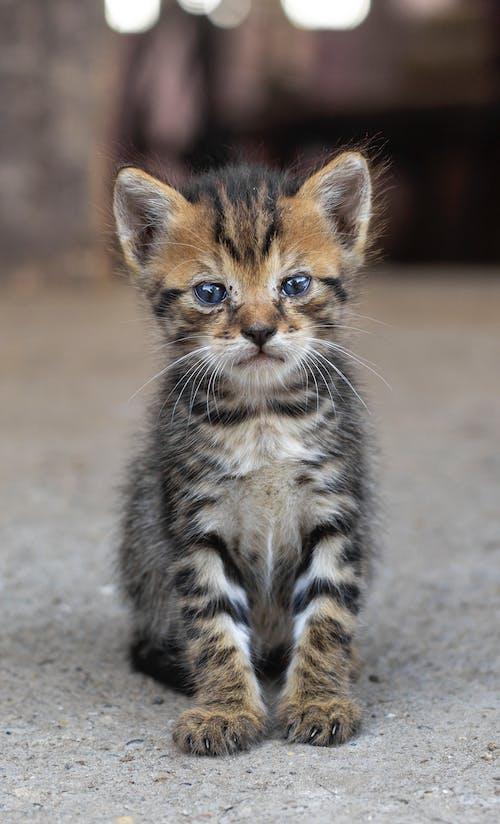 小貓, 灰, 灰色, 藍眼睛 的 免費圖庫相片