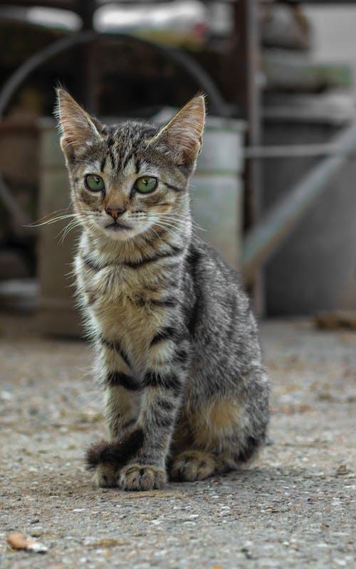 埃及貓, 壯觀, 小貓, 灰 的 免費圖庫相片
