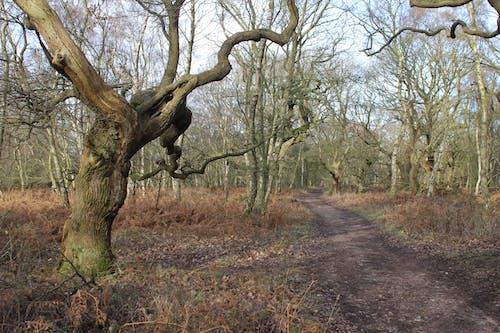 คลังภาพถ่ายฟรี ของ ต้นโอ๊ค, ต้นไม้, ทางเดินป่า, ทางเดินในป่า