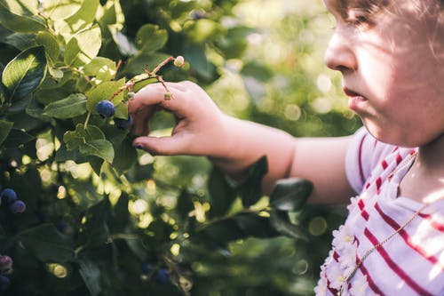 Close-Up Photo of Girl Picking Blueberries