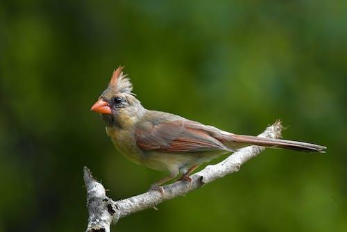 Foto stok gratis bertengger di atas ranting, burung, jarak dekat, kardinal norhern perempuan