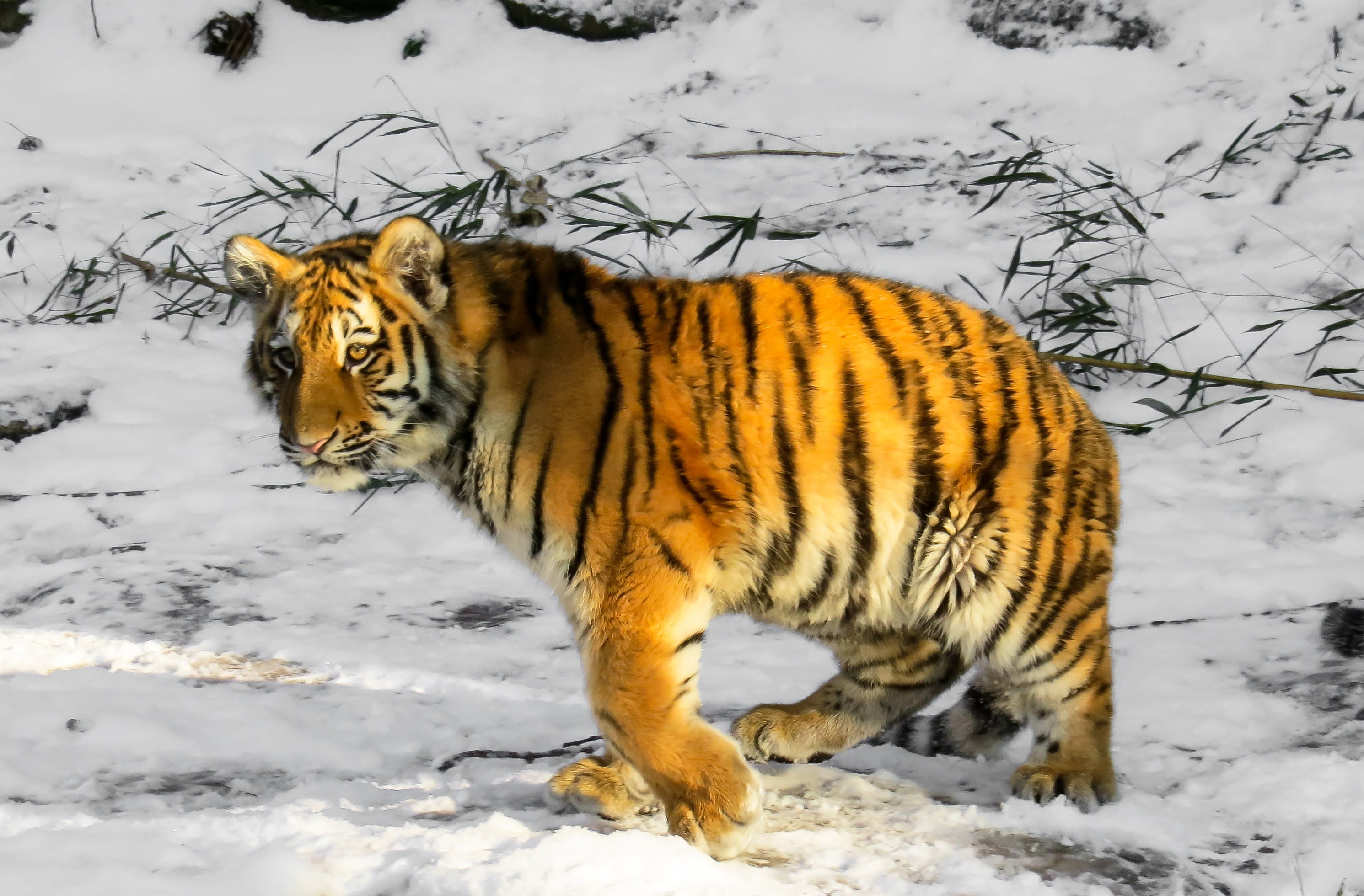 Bengal Tiger Walking Along Snow-covered Field