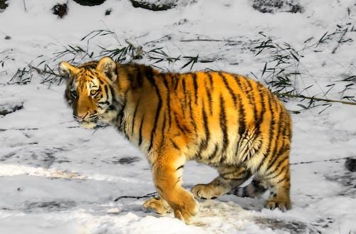 Foto d'estoc gratuïta de animal, animal salvatge, caçador, carnívor