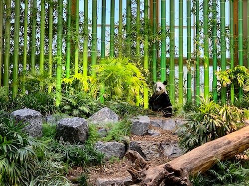 パンダ, 動物園の無料の写真素材