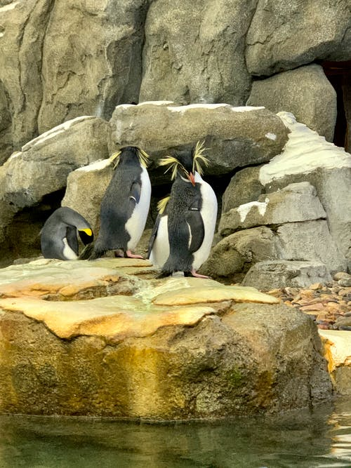 Foto d'estoc gratuïta de pingüins