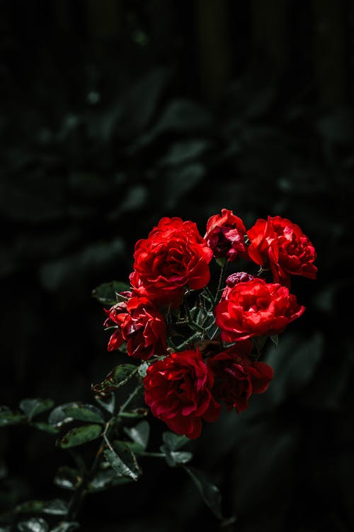 Close-Up Photo of Red Roses