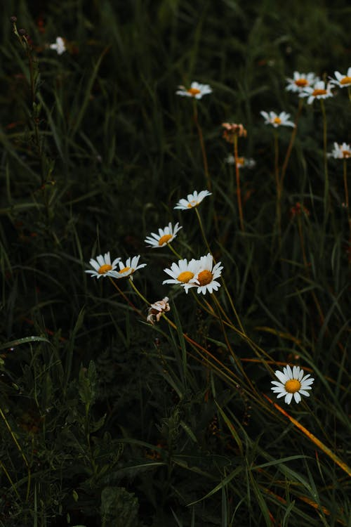 Camomile flowers growing in green field