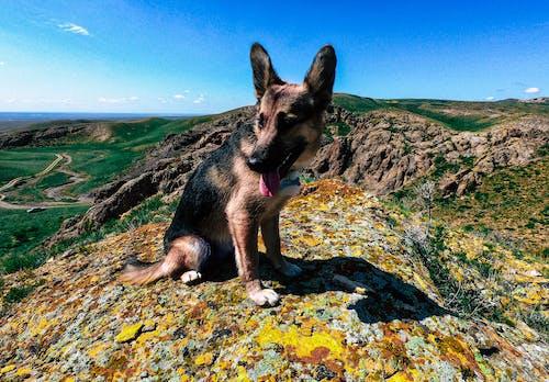 Kostnadsfri bild av bergen, blå himmel, grön, hund