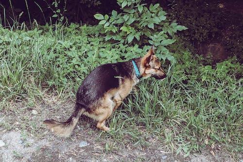 Foto stok gratis anjing, anjing pooing, hijau, kocak