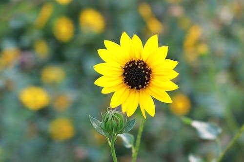 Kostenloses Stock Foto zu schöne blume, sonnenblume