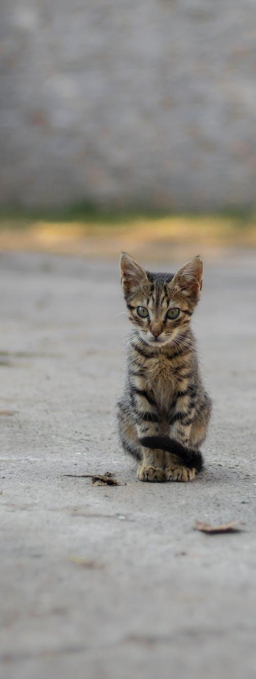 動物, 可愛, 可愛的, 小貓 的 免費圖庫相片