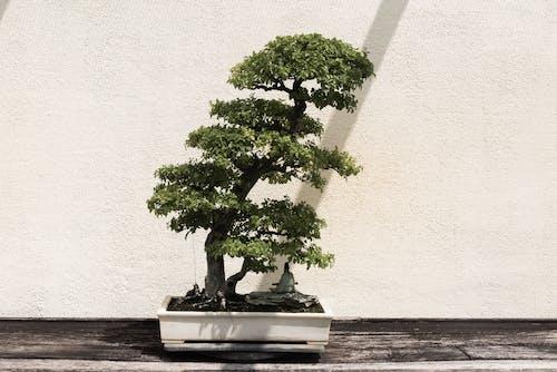 Green Bonsai Tree in White Pot