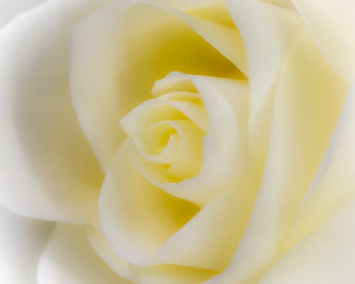 คลังภาพถ่ายฟรี ของ กลีบดอก, ของขวัญ, ขาว, ครีม