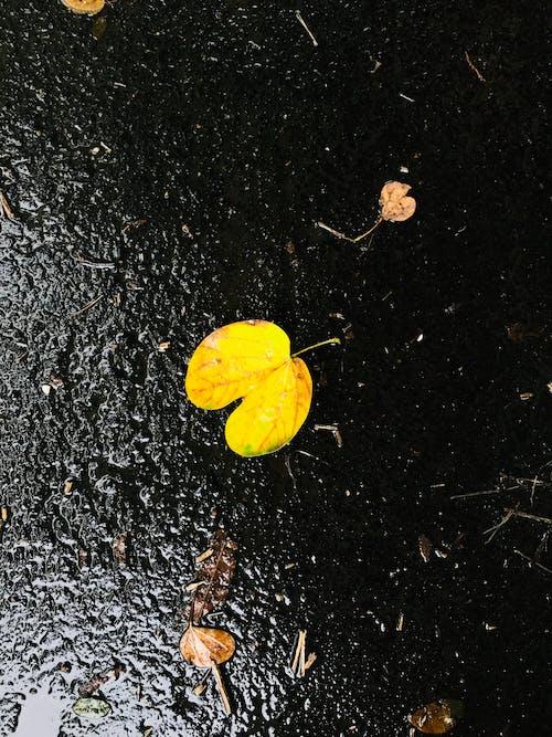 Бесплатное стоковое фото с большой лист, дорога, желтый лист, муссон