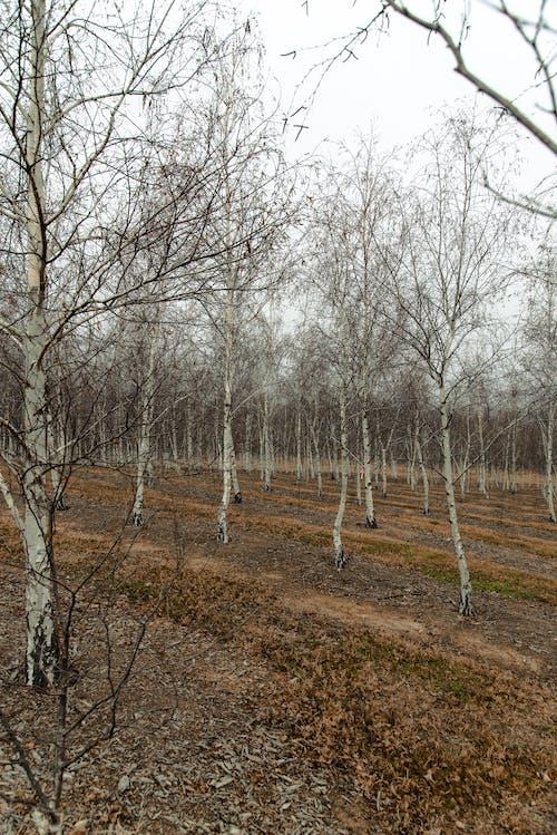冬季, 堪培拉, 天性, 樹木 的 免费素材照片