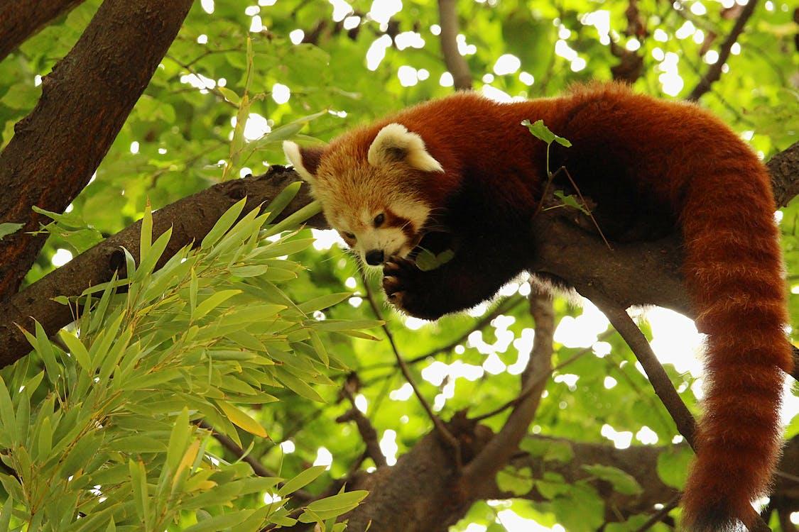 Red panda on branch of green tree