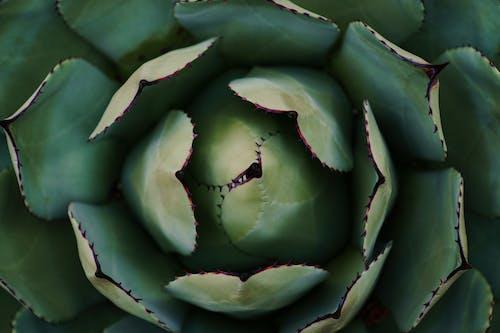 Бесплатное стоковое фото с завод, зеленый, кактус, колючий
