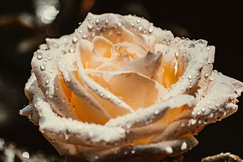 White Rose With Water Droplets