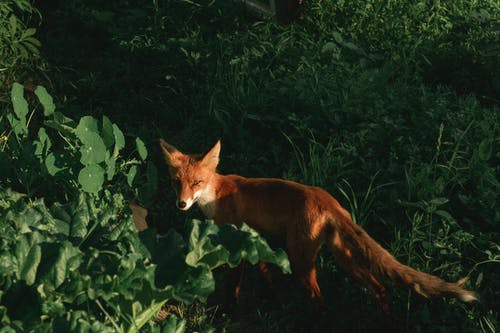 Adult Fox on Grass