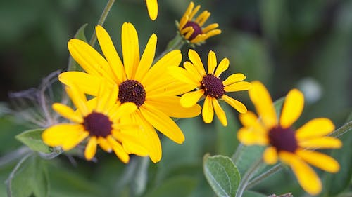 Free stock photo of Black Eyed Susan, flowers, michigan, southfield