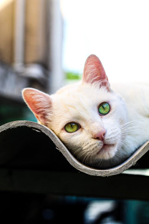 Close-Up Photo Of White Cat