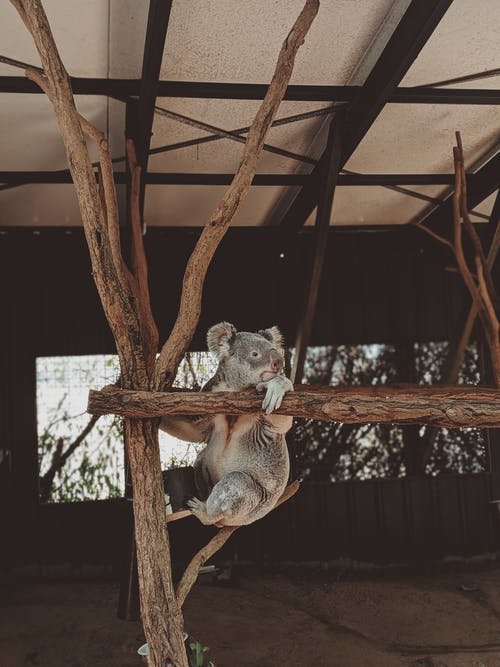 Koala Bear on Brown Branch