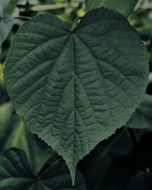 Kostnadsfri bild av blad, grön, hjärta, hjärtformad