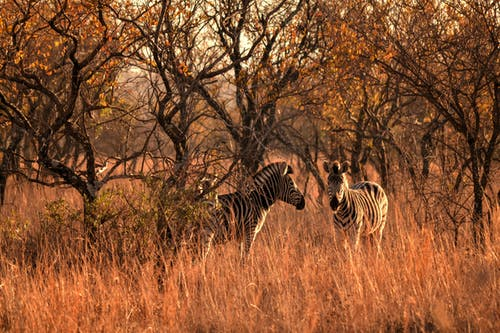 Two Zebra Beside Trees