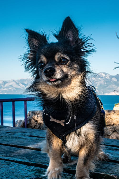 Gratis lagerfoto af charmerende, chihuahua, chiwawa, dyr