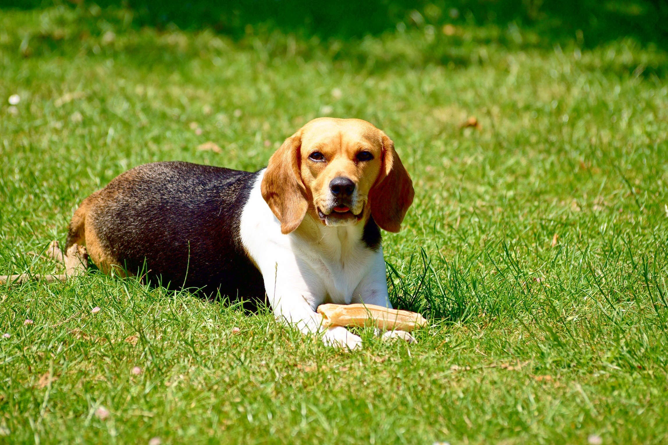 Tri-color Beagle on Grass Field