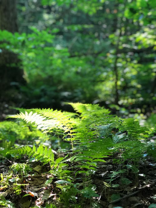 Free stock photo of fern, fern leaf, green, mother nature