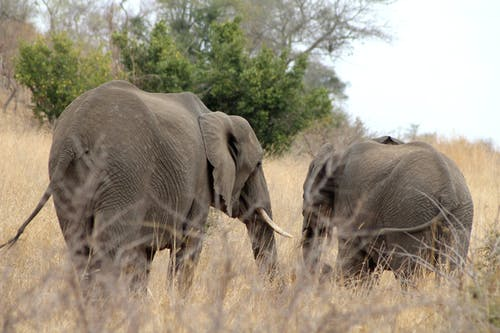 Free stock photo of animal, bush, elephant, elephants