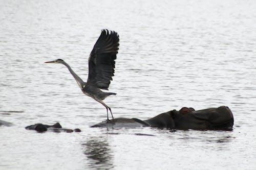 Free stock photo of bird and hippo, flying, hippo, hippopotamus