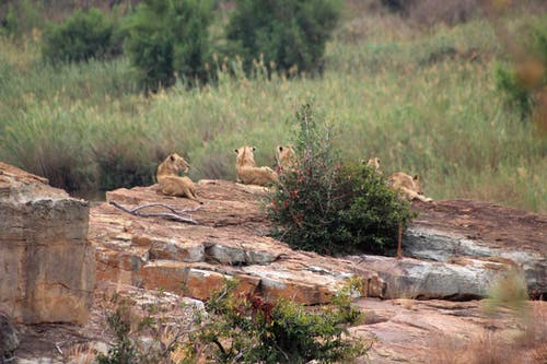 Free stock photo of Animal Kingdom, bush, kruger, lions