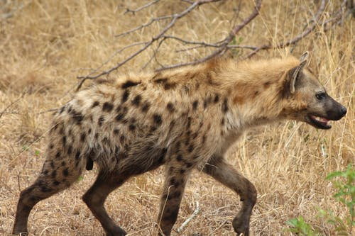 Free stock photo of hiëna, kruger, wild animal, wildlife