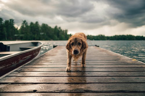 Long-coated Brown Dog on Wooden Dock