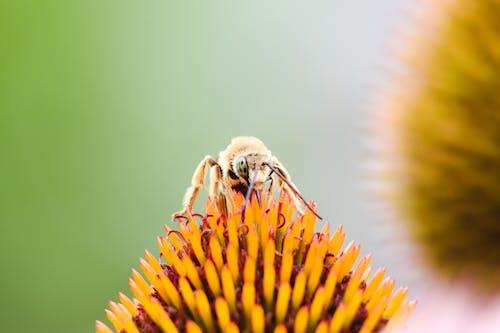 Ilmainen kuvapankkikuva tunnisteilla hyönteinen, kuoriainen, mehiläinen, pölytys