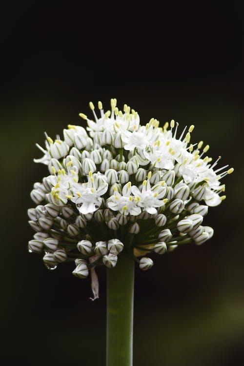 Ilmainen kuvapankkikuva tunnisteilla kukka, laukka, luonto, nuppu