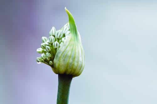 Free stock photo of allium, bloom, bud, flower